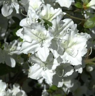 Japanische Azalee Marias Choice 15-20cm - Rhododendron obtusum - Zwerg Alpenrose