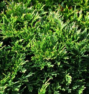 Hochstamm Scheinzypresse Green Globe 40-60cm - Chamaecyparis lawsoniana