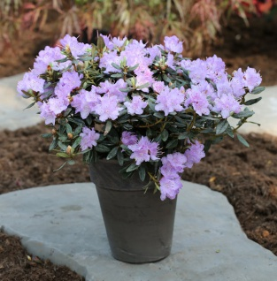 Zwerg Rhododendron Ramapo 25-30cm - Rhododendron impeditum - Zwerg Alpenrose