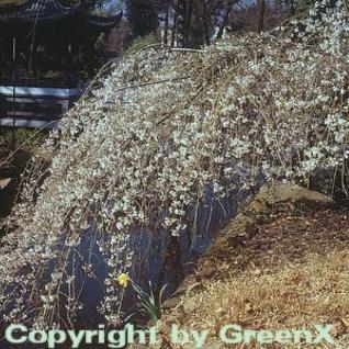 Frühlingshängekirsche 125-150cm - Prunus subhirtella