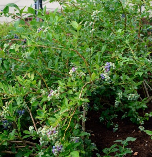Hochstamm Heidelbeere Elizabeth 60-80cm - Vaccinium corymbosum