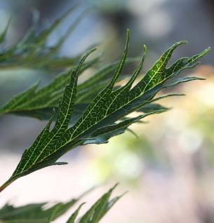 Hochstamm Roterle Imperialis 80-100cm - Alnus glutinosa