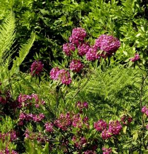 Rotes Lorbeerröslein 30-40cm - Kalmia angustifolia