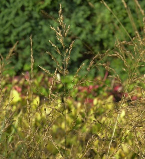 Riesen Pfeifengras Strahlenquelle - Molinia arundinacea