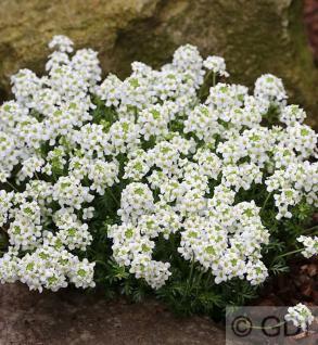Gämskresse - Pritzelago alpina