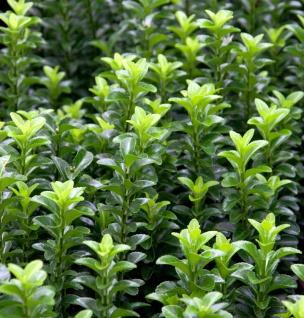 Kriechspindel Green Empire® 25-30cm - Euonymus japonicus