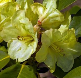 INKARHO - Rhododendron Lucinda 20-25cm - Alpenrose