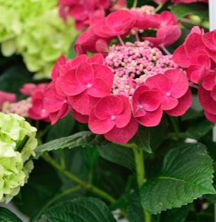 Teller Hortensie Cotton Candy® 30-40cm - Hydrangea serrata