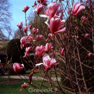 Magnolie Galaxy 80-100cm - Magnolia