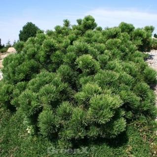 Pinus Günstig Sicher Kaufen Bei Yatego