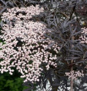 Hochstamm Schwarzer Holunder Black Lace® 80-100cm - Sambucus nigra