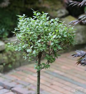 Hochstamm Spieß Weide Tobi 40-60cm - Salix hastata