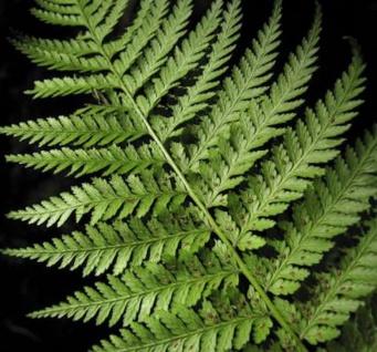 Grosser Wimpernfarn - Woodsia obtusa