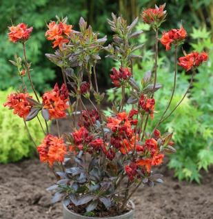 Azalee Dorothy Carsten 40-50cm - Rhododendron luteum - Alpenrose