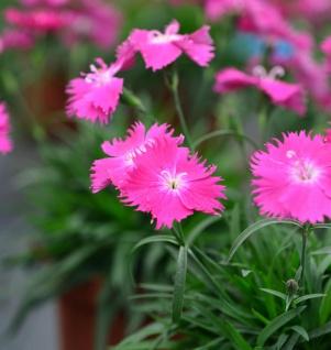 Pingst-Nelke Dinetta Soft Pink - großer Topf - Dianthus cultorum