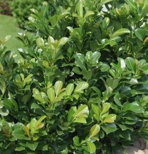 Lorbeerkirsche Kleopatra® 100-125cm - Prunus laurocerasus