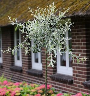 Hochstamm Hängende Wildbirne 100-125cm - Pyrus salicifolia Pendula