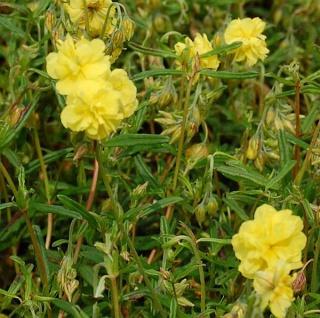 Sonnenröschen Gelbe Perle - Helianthemum