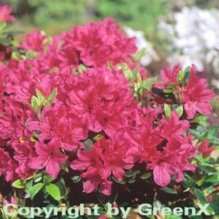 Japanische Azalee Lilac 30-40cm - Rhododendron obtusum - Zwerg Alpenrose