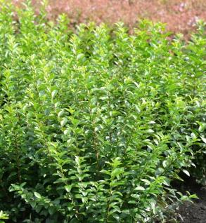 Liguster Green Diamond 40-60cm - Ligustrum ovalifolium Lemon and Lime