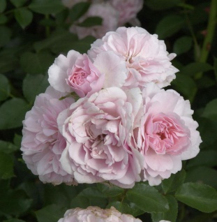 Hochstamm Rose Bonica® 40-60cm