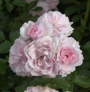 Hochstamm Rose Bonica® 60-80cm