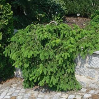 Zwerg Hängefichte Formanek 40-50cm - Picea abies
