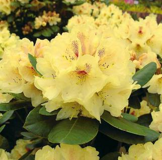 Großblumige Rhododendron Goldbukett 70-80cm - Alpenrose