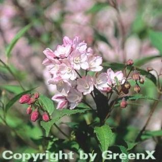 Halbhoher Sternstrauch Kamiendeutzie 80-100cm - Deutzia kalmiiflora