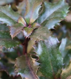 Drachenhaut Stechpalme Dragonskin 80-100cm - Ilex aquifolium