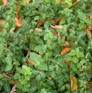 10x Kriechspindel Coloratus 10-15cm - Euonymus fortunei
