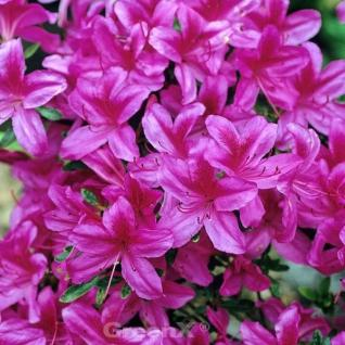 Japanische Azalee Rosalind 30-40cm - Rhododendron obtusum - Zwerg Alpenrose