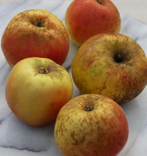 Apfelbaum Pannemanns Tafelapfel 60-80cm - fest und saftig