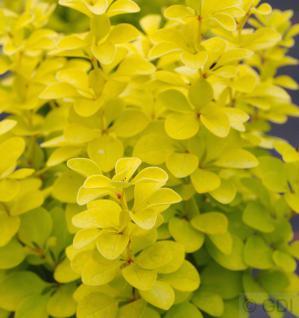 Goldberberitze Maria® 30-40cm - Berberis thunbergii