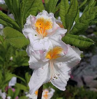 Azalee White Melody 25-30cm - Rhododendron luteum - Zwerg Alpenrose - Vorschau