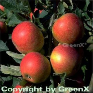 Apfelbaum Alkmene 60-80cm - fest und süß