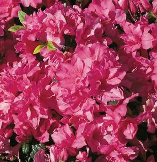 Japanische Azalee Melina 25-30cm - Rhododendron obtusum - Zwerg Alpenrose