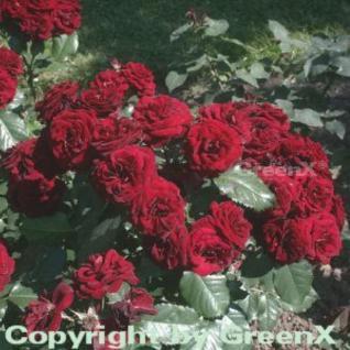 Floribundarose Lavaglut® 30-60cm