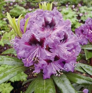 Großblumige Rhododendron Blaue Jungs 25-30cm - Alpenrose