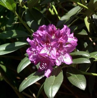 Großblumige Rhododendron Blue Print 50-60cm - Alpenrose
