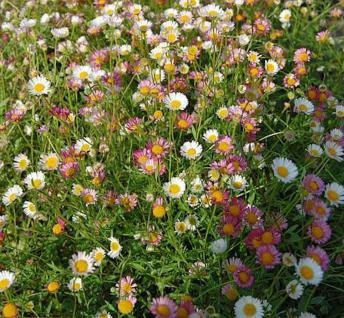 Spanisches Gänseblümchen Blütenmeer - Erigeron karvinskianus