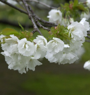 Fudschijama Kirsche Shirotae 100-125cm - Prunus serrulata