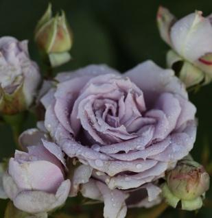 Hochstamm Rose Novalis 80-100cm