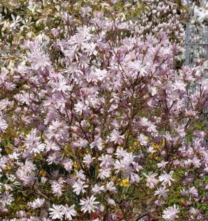 Kleine Sternmagnolie Georg Henry Kern 100-125cm - Magnolia stellata