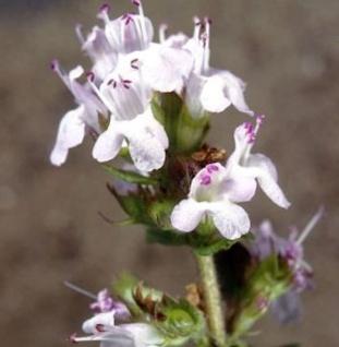 Weisser Polsterthymian - großer Topf - Thymus praecox
