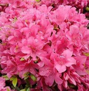Kriechende Immergrüne Zwerg Azalee Talamanca 20-25cm - Rhododendron nakaharai