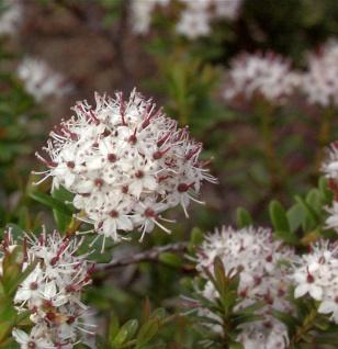 Sandmyrte 10-20cm - Leiophyllum buxifolium