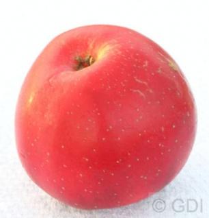 Apfelbaum Berner Rosenapfel 60-80cm - Weihnachtsapfel feinwürzig