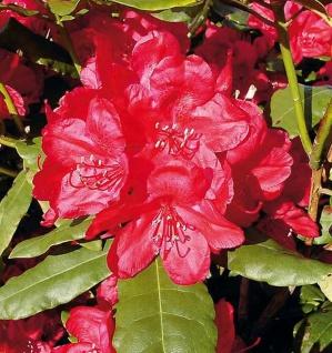 Großblumige Rhododendron Hachmanns Feuerschein® 40-50cm - Alpenrose