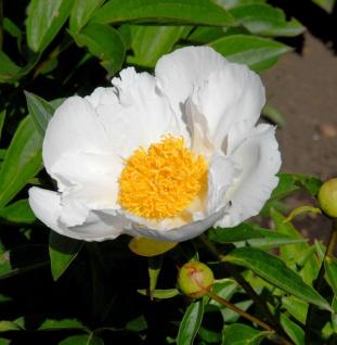 Edelpfingstrose Krinkled White - Paeonia lactiflora